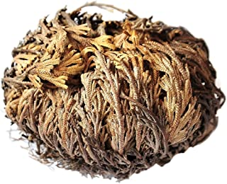 Gracefulvara 4 Pcs Live Resurrection Plant Seeds Rose of Jericho Dinosaur Plant Air Fern Spike Selaginella Moss