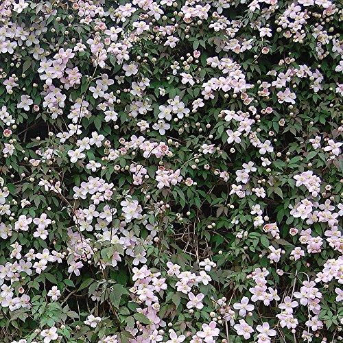 Clematis montana 'Tetrarose' - Clématite des montagnes rose