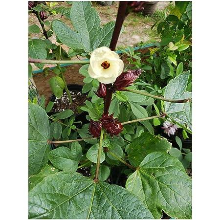 Tropical Hibiscus Flowers Seeds Beige 20 Seeds