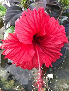 Best red hot hibiscus plant Reviews
