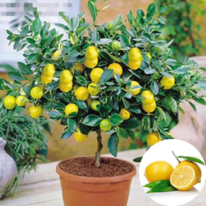 10Pcs/Bag Lemon Tree Seeds Healthy Non GMO Lightweight Nutritious ...