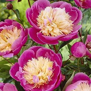 Van Zyverden Peonies Bowl Of Beauty Set of 6 Roots