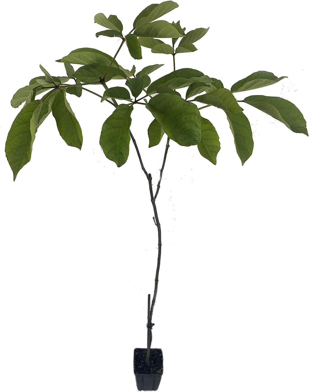 Yellow Tabebuia Trumpet Tree - 5 Bargain sale Virginia Beach Mall Live in Inch Plants Pots 4 Ha