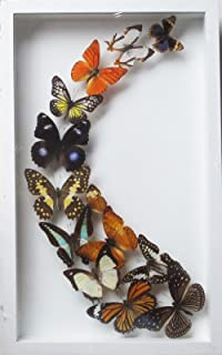 LUXURY ART REAL MIX BEAUTIFUL BUTTERFLY IN FRAME DISPLAY INSECT TAXIDERMY