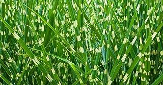 20 Sẹẹds Zebra Grass Variegated Maiden Grass Miscanthus Sinensis Zebrinus Sẹẹds