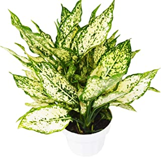 """18"""" Tall - 'First Diamond' - Aglaonema - Houseplant - Live Plant - Home and Garden - N4"""