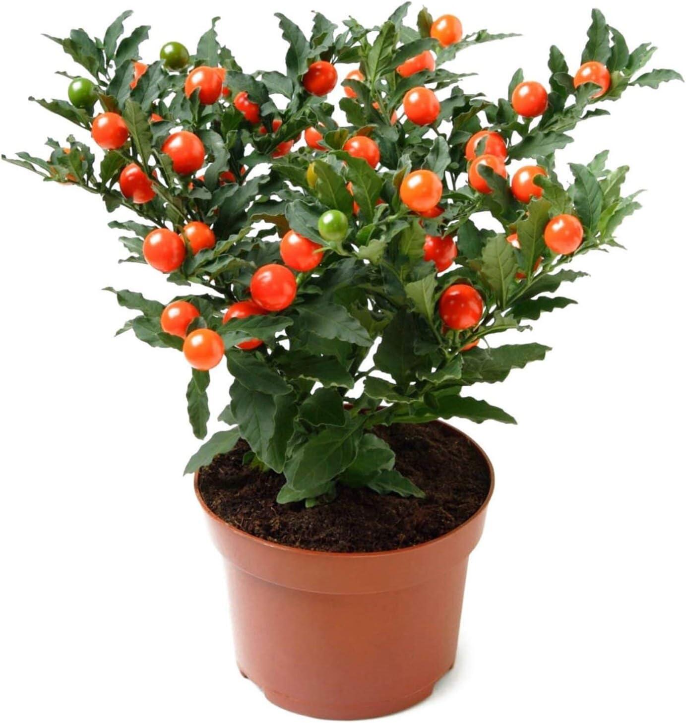 NIKA SEEDS New Shipping Free - Flowers Jerusalem Cherry Christmas favorite Perennial Plant