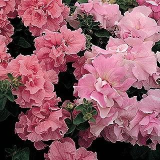 20 pc Petunia Double Cascade Pink Flower Seeds (Petunia x hybrida)