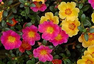 Sun Rose, Rock Rose Mix Hardy Perennial helianthemum mutabile sunrose 20 Seeds
