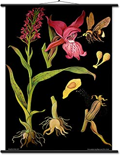Educational Wall Botanical Chart - ready to hang - Orchid (36