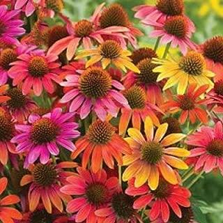Best cheyenne coneflower seeds Reviews