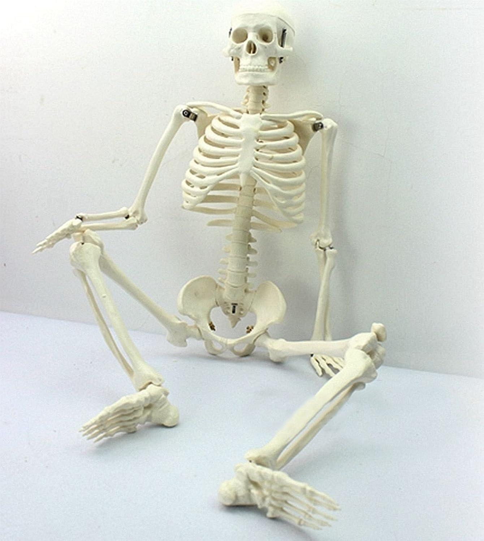 Aprettysunny 45cm 45cm 45cm anatomie skelett der medizinischen lehre modell B07GGYQWJ7 | Niedriger Preis und gute Qualität  e43080