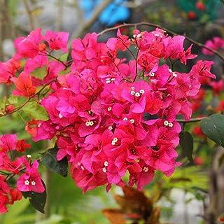 20Pcs 50Pcs Nice Adorable Flower Graines Parfum/ées Plantes Blooms Graines de Tr/èfle 10 Pcs mymotto 10Pcs
