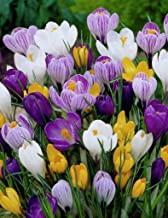 Crocus Species Mix (20 Bulbs) Purple, White, Yellow Perennial Bulb Mix. Made in USA, Ships from Our Iowa Nursery