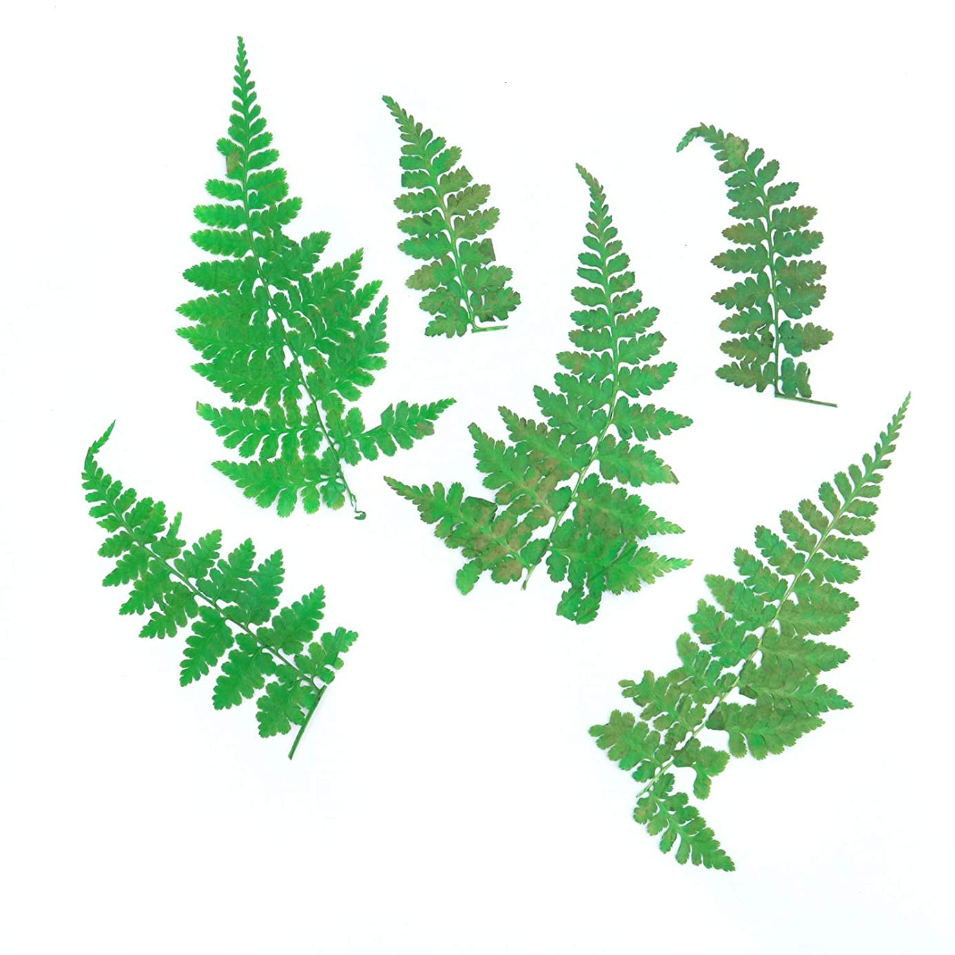 Monrocco Pack of 12Pcs Natural Pressed Ferns Leaves Pressed Real Dry Leaves for DIY Scrapbooking Arts Crafts,Card Making fpt2465917