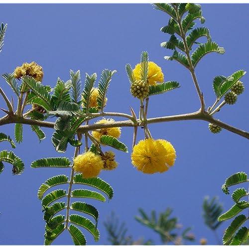 Acacia Tree Amazoncom