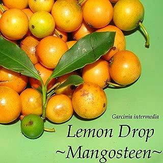Lemon Drop Mangosteen Garcinia Intermedia Yummy Yellow Fruit Sml Plant HD7