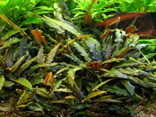 AquariumPlantsFactory - Cryptocoryne Wendtii 'Brown' Potted Freshwater Live Aquarium Plants BUY2GET1FREE