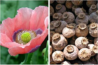 1000 Poppy The Giant Papaver Giganteum Pink & Purple Huge Pods Flower Seeds #SFB