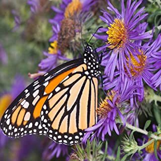 Outsidepride New England Aster Wildflower Seed - 1000 Seeds