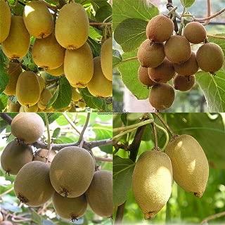 AGROBITS Type3  New valeur nutritive riche soins santA   fonction Fruit Kiwi Seeds CLSV