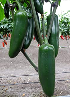 Jedi (F1) Hybrid Giant Jalapeno Pepper Seeds (20 Seed Pack)