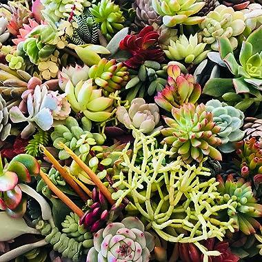 Live Succulent Cuttings 10 Assorted Varieties Beginners Succulent Plants, No 2 Cuttings Alike, Great for Terrariums, Mini Gar