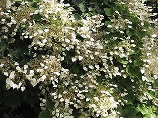 イワガラミ属のhydrangeoides「月光」。ムーンライトアジサイヴァイン(イワガラミ属のhydrangeoides「月光」)非常にクール!ピューターの葉は緑とピンクの葉脈のネットワークによって解剖されています。 7月に大きな白い花。