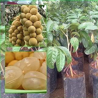 1 Thai Longkong grafted Tree Tropical Plant 18