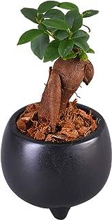 花のギフト社 ガジュマル 多幸の木 ガジュマルの木 観葉植物 植物 鉢植え 陶器 ミニ観葉植物