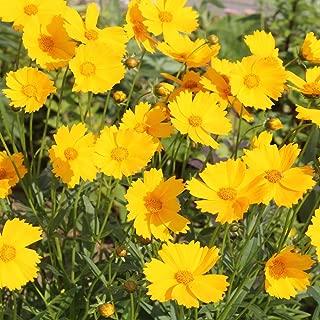 Best coreopsis seeds bulk Reviews