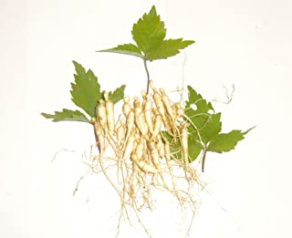 ginseng plant seeds for sale