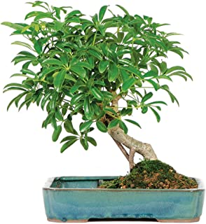 orange jasmine bonsai