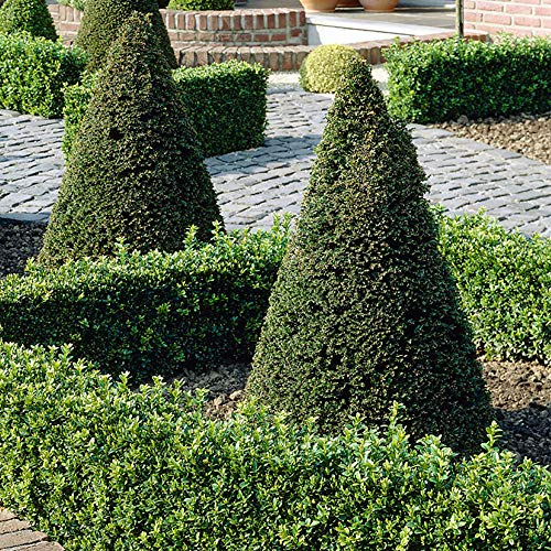 Yew Topiary Pyramid Cone (Taxus baccata) 70cm Tall