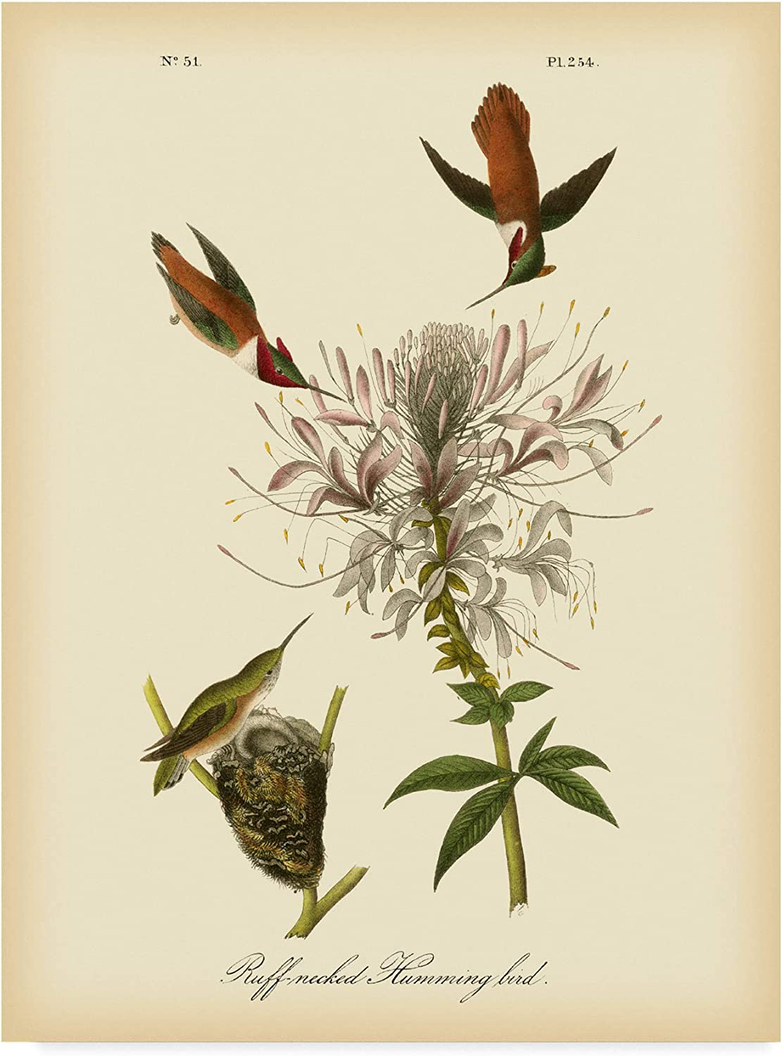 Trademark Fine Art Ruff Neck Hummingbird by John James Audubon, 14x19Inch