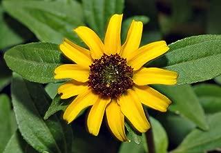 HOT - Creeping Zinnia - 260 Seeds - Sanvitalia Procumbens - Trailing Plant