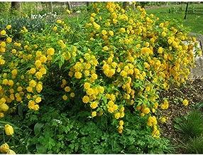 Kerria Japonica Flore Pleno 4 Inch Pot Starter Plant #WD01