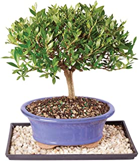 Brussel's Live Gardenia Outdoor Bonsai Tree - 7 Years Old; 8