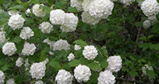 Viburnum macrocephalum 'Sterile' - Chinese Snowball - One Gallon Healthy Potted Plant - Flowering Shrub – 1 Plant by Growers Solution