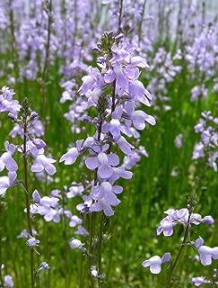 100 BLUE TOADFLAX Linaria Canadensis Antirrhinum Canadian Flower SeedsComb S/H