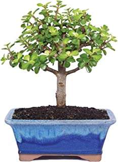 Brussel's Live Dwarf Jade Indoor Bonsai Tree - 5 Years Old; 6