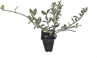 Variegated Asiatic Jasmine Minima - 10 Live Plants - Trachelospermum Asiaticum 'variegatum' - Evergreen Groundcover