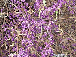 30 American BEAUTYBERRY Seeds - Callicarpa Americana