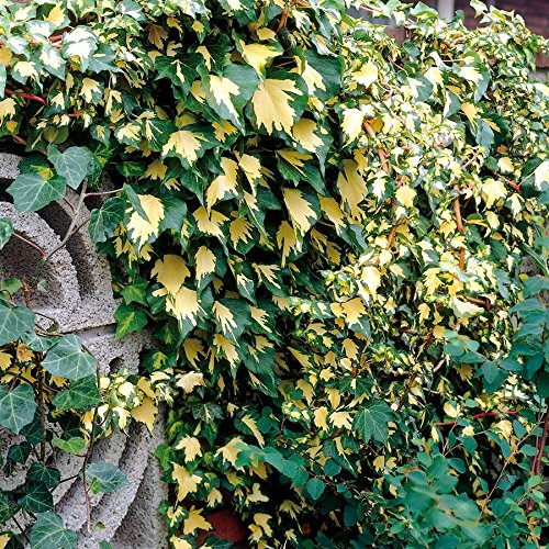 tomgarten Kletterefeu 'Gold Heart' | goldene Färbung | Wird bis zu 5 m | 1 Pflanze