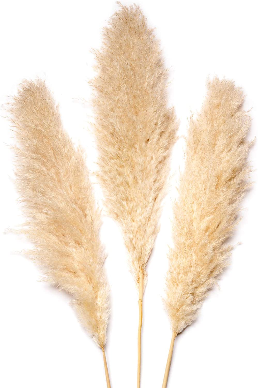 Buy All Grace Pampas Grass   21 Large Natural Dried Pampas Grass ...