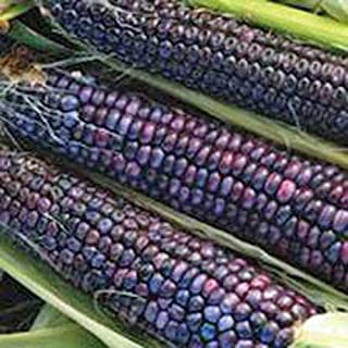 Corn, Blue Hopi, Corn Seeds, Organic, NON-GMO, 20 Seeds per package, making an excellent,Makes a excellent sweet blue corn flour.