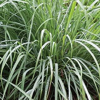 Burpee Lemongrass Cymbopogon Citratus   10 Multi-Seed, Pellets