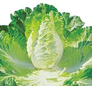 キャベサイの苗 3個セット【野菜苗9cmポット 3個セット】【キャベツと白菜の良いとこどりをした食べやすい新野菜!!】 キャベツと白菜の良いところを合わせもつ中間品種です。葉の硬さは白菜に近くやわらかで、少しキャベツの風味がする美味しい葉野菜で...
