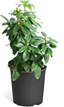 Lavender Rhododendron Shrubs - Huge Purple Blooms The First Year! - 1 Gallon   Cannot Ship to AZ