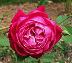 Louis Philippe Rose - 3 Live Plants in 6 Inch Pots - Heat Tolerant Flowering Shrub